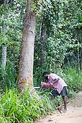 Man using chainsaw to fell teak tree, Ella, Badulla District, Uva Province, Sri Lanka, Asia