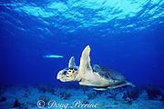 loggerhead sea turtle, Caretta caretta, with sharksuckers ( remoras ), Echeneis naucrates, Bahamas ( Western Atlantic Ocean )