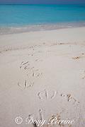footprints of either Laysan albatross, Phoebastria immutabilis, or black-footed albatross, Phoebastria nigripes, Sand Island, Midway Atoll, Midway National Wildlife Refuge, Papahanaumokuakea Marine National Monument, Northwest Hawaiian Islands, USA ( North Pacific Ocean )