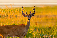 Whitetail deer buck in velvet antlers at Ninepipe WMA near Ronan, Montana, USA