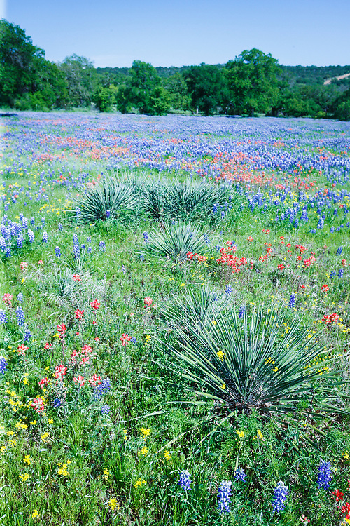 Bluebonnets and cactus near Burnet, Texas in the Texas Hill Country, USA