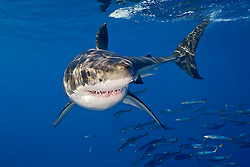 great white shark, Carcharodon carcharias, with schooling jack mackerels, Trachurus symmetricus, Guadalupe Island, Mexico, East Pacific Ocean