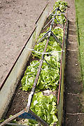 Lettuce plants growing in cold frame