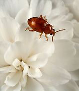 Close-up of a red beetle (Coccidula rufa) resting on a white flower in a Norfolk garden in summer
