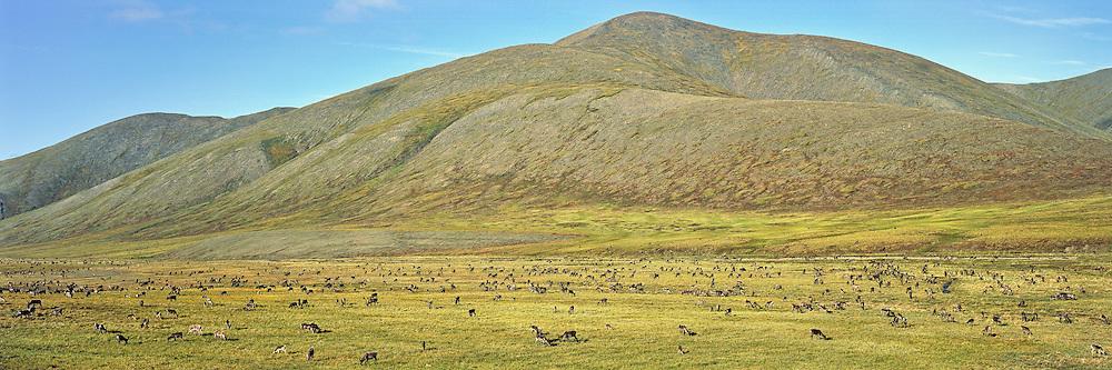 Porcupine caribou herd migration through the Richardson Mountains