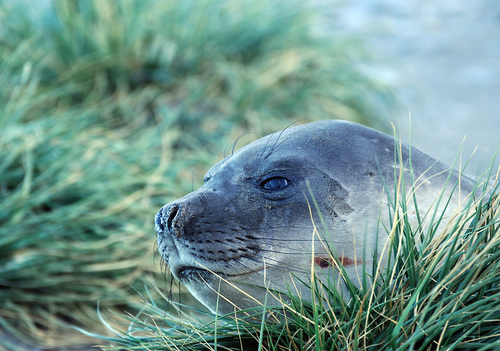 A juvenile Southern Elephant Seal (Mirounga leonine) rests among tussac grass (Poa flabellata) growing on a rocky hillside. Ocean Harbour, South Georgia.