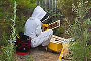 Urban beekeeper removing feral bee hive from bushes near Ballona Creek. Los Angeles, California, USA