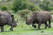 White rhinocerous males make a charging challenge. [secret location] David A. Ponton