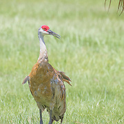 Sandhill crane adult (Grus canadensis) standing upright in tall grass, under palm fronds.