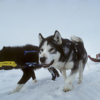 Expedition dogs pull sled past a pressure ridge on frozen Arctic Ocean.