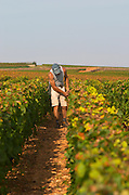 Mounting and fixing the wires in the vineyard. Pommard, Cote de Beaune, d'Or, Burgundy, France