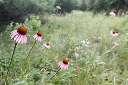 Purple coneflowers on Piedmont Ridge, Great Trinity Forest, Dallas, Texas, USA
