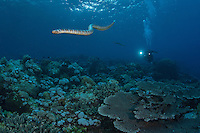 Black Banded Sea Krait hunting along the reef..Shot in Indonesia..