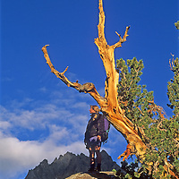 A hiker stands under a wind-twisted whitebark pine in Big Pine Canyon in California's Sierra Nevada.  Two Eagles Peak, part of the Palisade Crest, rises in the background.