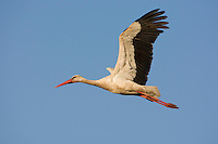 White stork (Ciconia ciconia) adult in flight. Rusne, Lithuania. Mission: Lithuania, June 2009