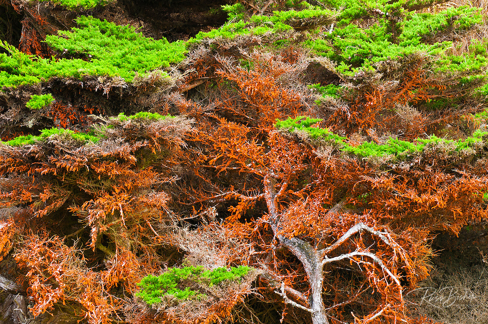 Cypress Tree covered in green algae, Point Lobos State Reserve, Carmel, California USA