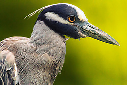 A Yellow-crowned Night Heron Closeup Head Shot Against A drop Of Bright Forest Green