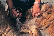 Camel shearing<br /> for making yarn<br /> Gobi Desert<br /> Mongolia