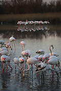 """FLAMINGOES, Camargue. France, Provence, wildlife park and nature reserve, swampland region between Arles and Saintes Maries de la Mer. Many wild birds especially known for thousands of pink flamingoes migrating and living there all year around. Fears of bird  flu arrival with migrating birds from overseas. ..Important notice: Caption must include """"Parc Ornithologique du Pont de Gau © Nigel Dickinson"""""""