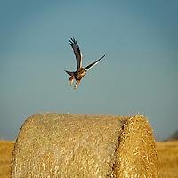 Red-Tailed Hawk East of Calgary near Langdon Reservoir