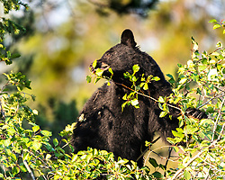 Black bear during the hawthorn berry harvest in Jackson Hole.