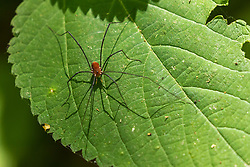 Eastern Harvestman spider a member of the Opiliones order of arachnids colloquially known as harvestmen, harvesters, or daddy longlegs