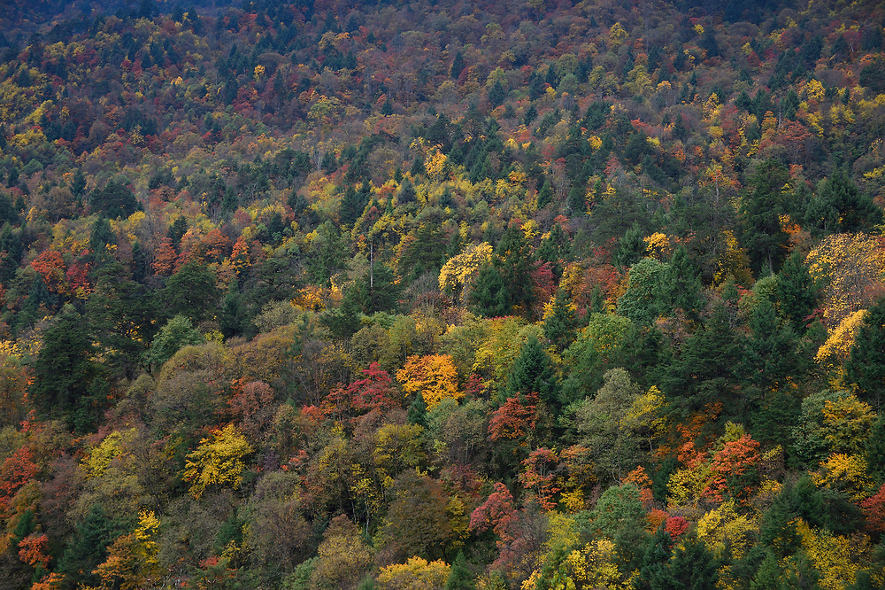 Tree biodiversity in Fall colours, Humid montane mixed forest, Laba He National Nature Reserve, Sichuan, China