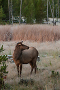 Cow elk with frost dusting during autumn morning, Yellowstone National Park, Wyoming.