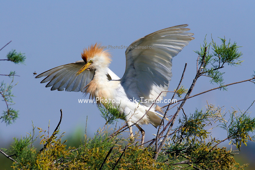 Adult Cattle Egret (Bubulcus ibis) in Breeding plumage spread wings and feathers up.  landing in a tree. The cattle egret is found all over Africa (apart from the Sahara), and around the coasts of the Americas, southern Asia and Australasia. It feeds on insects found on the hides of large herbivores, on the ground, or in the water. Cattle egrets can grow to over 50 centimetres in length. Photographed in Israel, in May.