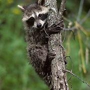 Raccoon, (Procyon lotor) Young raccoon climbing Norway pine. Summer.   Captive Animal.