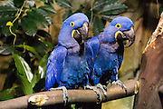 The Hyacinth Macaw (Anodorhynchus hyacinthinus) is a parrot native to central and eastern South America. Its length of up to 100 cm (3.3 ft) makes it longer than any other species of parrot. Photographed in the Vancouver Aquarium, 845 Avison Way, Vancouver, British Columbia, V6G 3E2 CANADA. It is the largest macaw and the largest flying parrot species, though the flightless kakapo of New Zealand can outweigh it at up to 3.5 kg. Habitat loss and trapping wild birds for the pet trade has ravaged their population in the wild, classifying them as endangered on the International Union for Conservation of Nature's Red List, and it is protected by the Convention on International Trade in Endangered Species of Wild Fauna and Flora (CITES).
