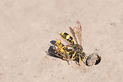 Ornate tailed digger wasps (Cerceris rybyensis) with predated bee at nest burrow. Sussex, UK.