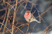 Stock photo of house finch captured in Colorado.  The coloring of the male house finch can range from deep red to yellow.  Available diet can determine color.