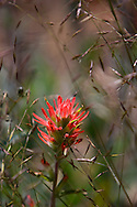Indian Paintbrush blooms in a meadow near Sisters, Oregon.