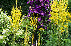 The end of the long border at Great Dixter including Verbascum olympicum, V. chaixii, Clematis x jackmanii 'Superba' trained on post, Hoheria lyallii and Senecio doria.