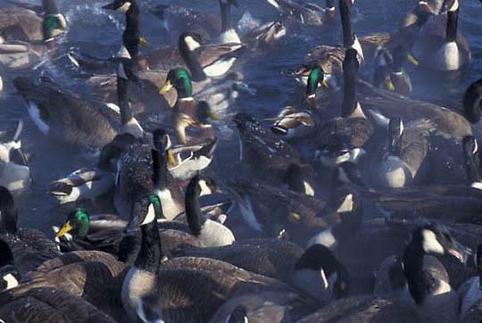 Canada Goose, (Branta candensis) Flock intermixed with Mallard Ducks.