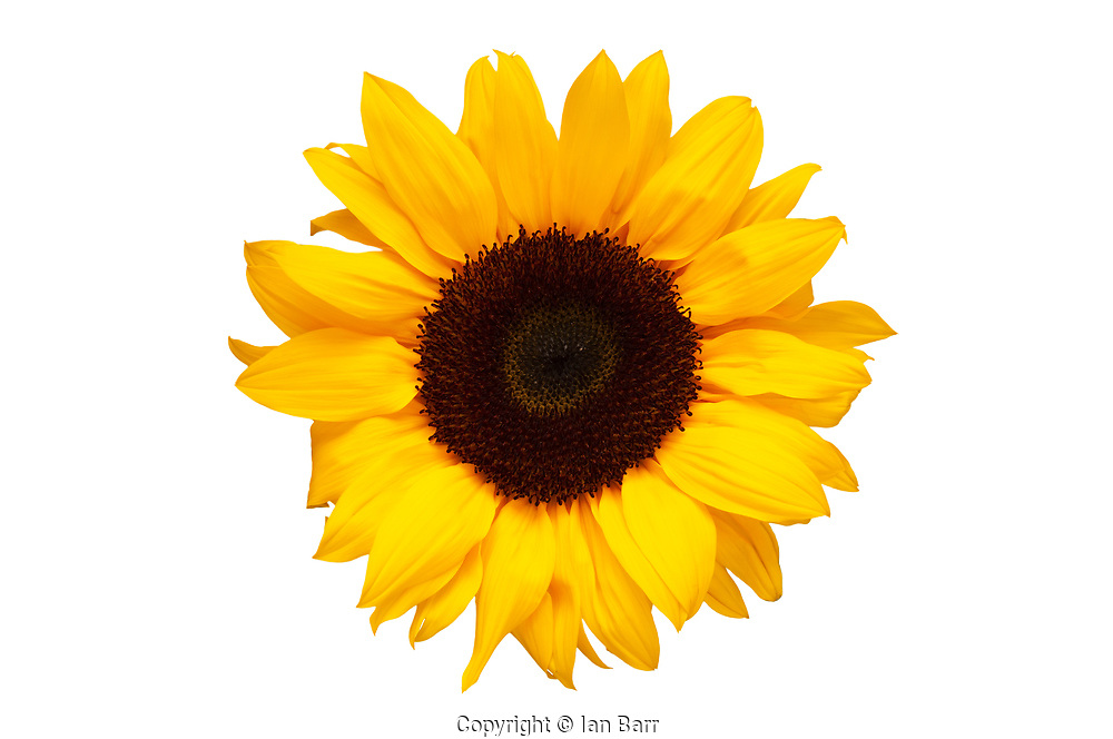 Silhouette Of Bright Yellow Sunflower on White.