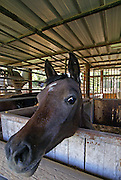 Close up portrait of a horse in a stable
