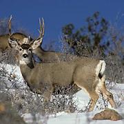 Mule deer,  (Odocoileus hemionus) large buck and does in sage brush on Snowy slope in Rockies.