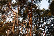 pine trees in the Wahner Heath near Telegraphen hill, Troisdorf, North Rhine-Westphalia, Germany.<br /> <br /> Kiefern in der Wahner Heide nahe Telegraphenberg, Troisdorf, Nordrhein-Westfalen, Deutschland.