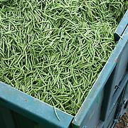 Nederland Giessen 28 augustus 2009 20090828 Foto: David Rozing  ..Serie over levensmiddelensector                                                                                      .Machinale oogst van tuinbonen, de boontjes worden vanuit de oogstmachine overgestort in een container. Deze wordt vervolgens getransporteerd naar de fabriek van HAK, waar de groente dezelfde dag wordt verwerkt. Detail massa bonen in container. Harvest ..Foto: David Rozing