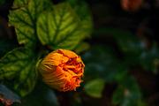 Close up of an orange Hibiscus flower