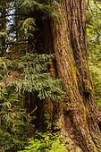California, Redwoods