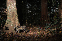 The clouded leopard (Neofelis nebulosa) is a wild cat occurring from the Himalayan foothills through mainland Southeast Asia into China. Its total worldwide population is suspected to be fewer than 10,000 mature individuals, with a decreasing population trend.