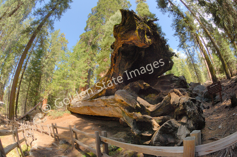 The Michigan Tree in Sequoia and Kings Canyon National Park <br /> fell in 1931 due to a water spring under its roots.  <br /> <br /> Species: Sequoiadendron giganteum