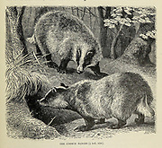 The common Badger From the book ' Royal Natural History ' Volume 2 Edited by Richard Lydekker, Published in London by Frederick Warne & Co in 1893-1894