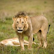 African Lion (Panthera leo) Masai Mara Game Reserve. Kenya. Africa.