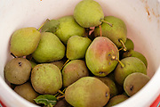 01 SEPTEMBER 2020 - ADEL, IOWA: Freshly picked pears in a bucket ready for packing. Volunteers from Eat Greater DSM gleaned pears at the Dallas County Human Services Campus. The pears will be distributed to Des Moines emergency pantries, community centers, and churches. Gleaning is the act of collecting leftover crops from farmers' fields after they have been commercially harvested or gathering crops from fields where it is not economically profitable to harvest. It is an ancient tradition first described in the Hebrew Bible. A spokesperson for Eat Greater DSM said need has skyrocketed this year. In a normal year, they distribute about 300,000 pounds of food. Since the start of the COVID-19 pandemic in March, they've distributed more than 500,000 pounds of food.       PHOTO BY JACK KURTZ