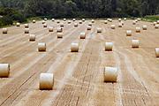 Nederland, Kekerdom, 31-7-2019Rollen gemaaid gras liggen op een vergeeld grasland in Kekerdom.Foto: Flip Franssen