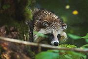 Racoon dog (Nyctereutes procynoides) near river Iesala, Northern Vidzeme, Latvia Ⓒ Davis Ulands | davisulands.com